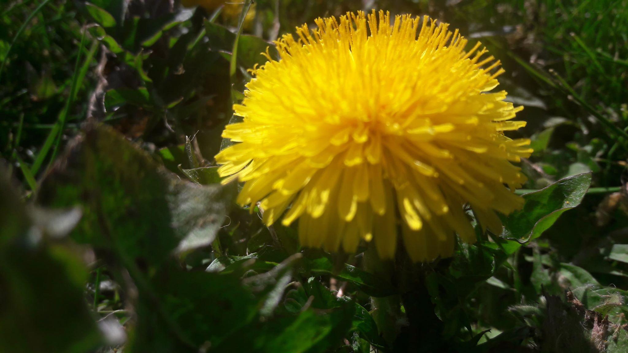 Pissenlit Taraxacum officinalis